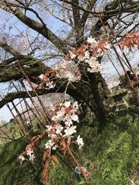 浅井の一本桜2018【その弐】