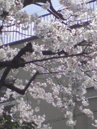 さくらさく♪ お花見シーズン到来です♪