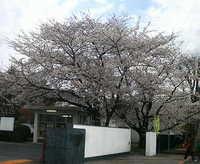 校門脇の桜が満開