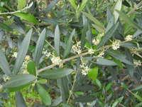 久留米の オリーブ