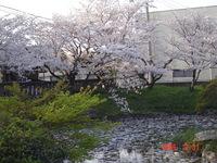 桜と・・ひつじ?