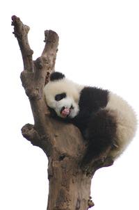 子パンダとふれあい体験